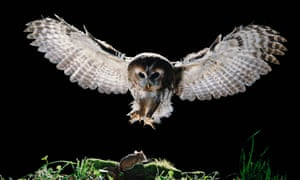 A tawny owl swoops on an unsuspecting mouse