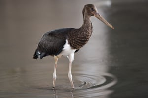 A black stork forages at the Beichuan River wetland park