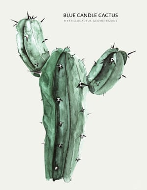 BLUE CANDLE CACTUS  from the book Urban Botanics by Emma Sibley and illustrated by Maaike Koster.