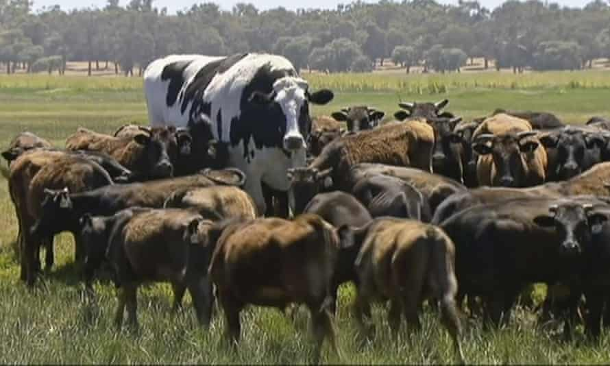 Holy cow! Knickers the enormous steer has avoided the abattoirs by being too big.