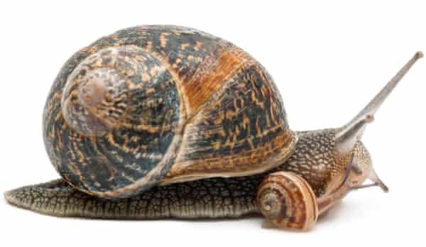 A garden snail with its baby.
