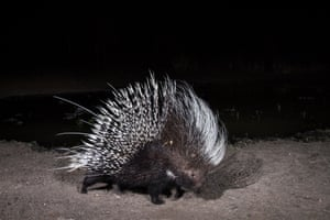 This image of a porcupine was commended in the BBC Wildlife magazine's camera trap photographer of the year competition 2014.