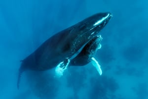 An injured humpback whale with its calf on a coral reef on Silver Bank, in the Sargasso Sea