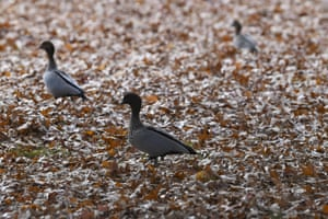 An Australian wood duck forages through autumn leaves at Lennox Gardens in Canberra