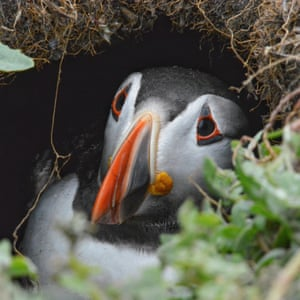 A little puffin looking up to the camera from his burrow. On the island of Inner Farne, Northumberland, UK.
