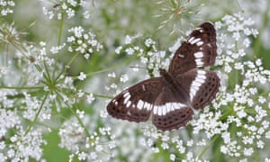 Go to the woods and you may see the graceful, gliding white admiral.