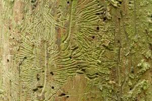 Bark beetle damage in an elm trunk.