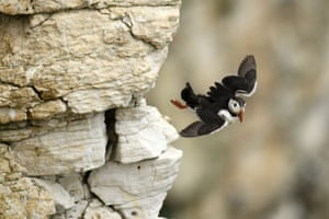 A puffin flies from the rock face at Bempton Cliffs on the north-east coast of England