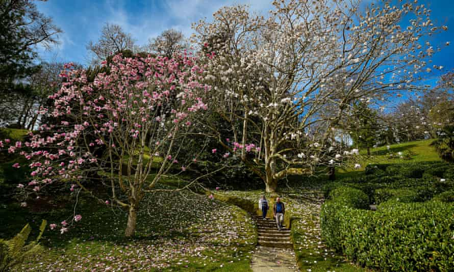 People walk beneath blooming magnolia trees at the National Trust's Glendurgan Garden in Cornwall.
