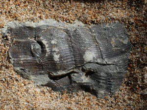 Fossilised horsetails in coal.