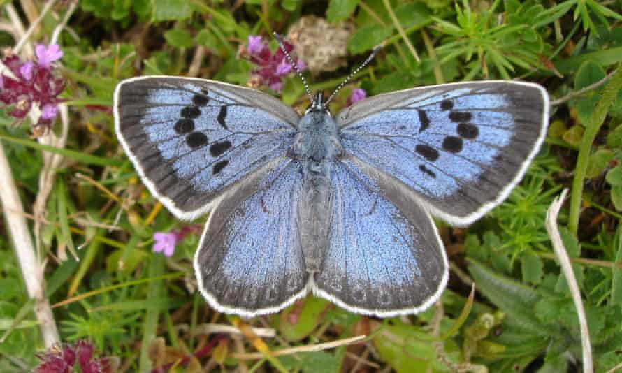 A Large Blue butterfly on foliage with tiny pink flowers