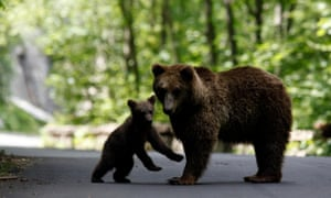 A brown bear and her cub play on the road on the outskirts of Sinaia, 140 km (87 miles) north of Bucharest,