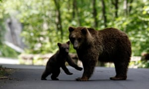 A brown bear and her cub play on the road on the outskirts of Sinaia, north of Bucharest