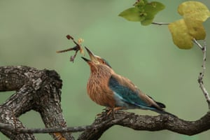 Indian roller playing with its kill