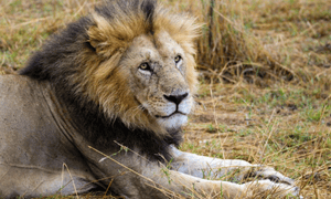 The population of lions in Africa has declined from 50,000 around 2005 to only 23,000 in 2016.