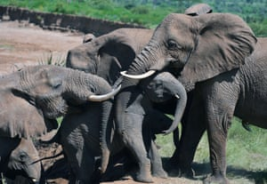 Elephants help an elephant calf up a slope after fording the Ewaso Nyiro river in Samburu game reserve.