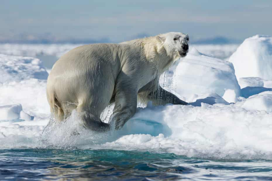 The North WaterPolynya has a large population of marine mammals, including the polar bear.