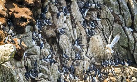 A seagull flies past guillemots nesting on Lundy's cliffs