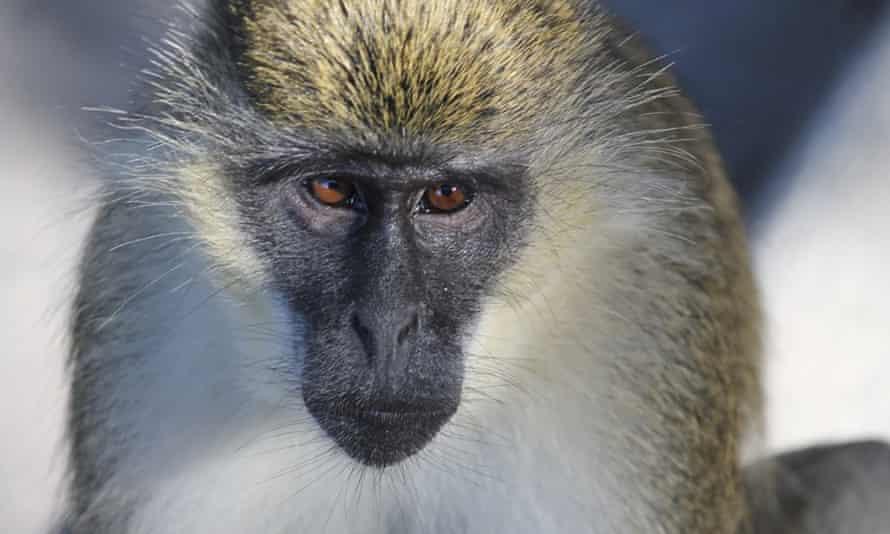 A vervet monkey is seen in Dania Beach, Florida.