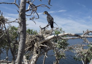 An immature double-crested cormorant sits atop a tree on one of the Four Brothers Islands on the New York side in Lake Champlain