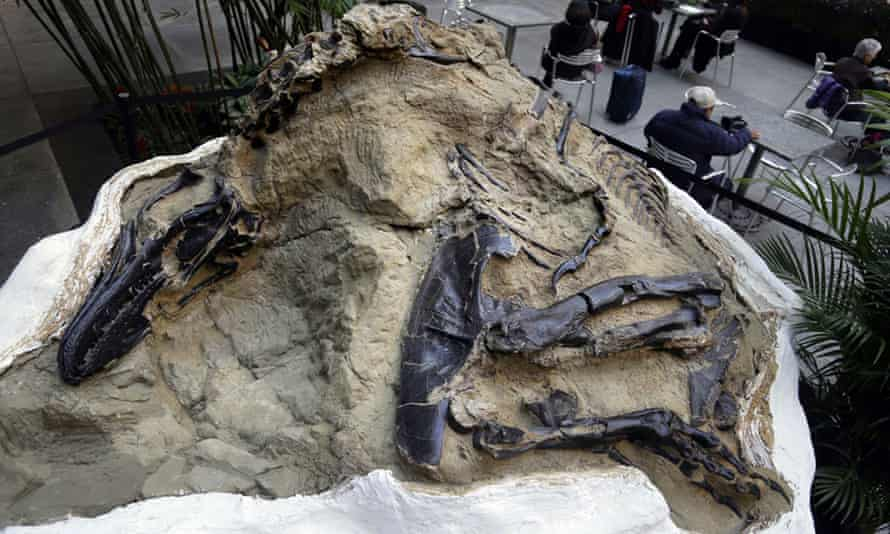 One of two 'dueling dinosaurs' fossils, on display in New York in 2013.