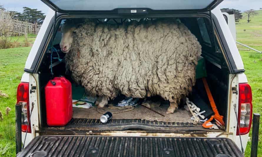 Pickles the sheep was found after being missing for seven years.