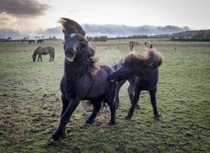Wehrheim, Germany Icelandic horses play in their paddock near Frankfurt