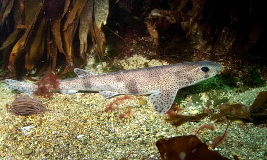A small-spotted catshark, one of the seabed-dwelling sharks examined in the study.