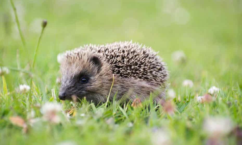 New Zealand hedgehogs