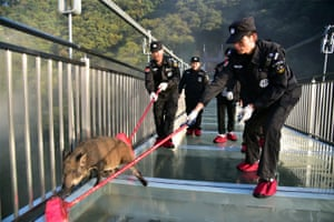 Security guards with brooms shoo a wild boar off a glass bridge at Gulong gorge in Qingyuan, in the Guangdong province of China.