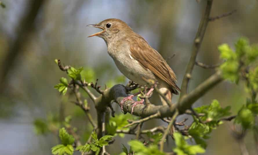 Winging it: BBC Radio 3 is to air musicians playing in Sussex woods alongside a nightingale.