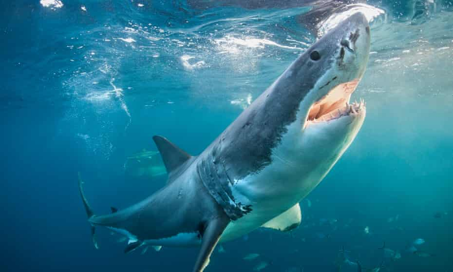 great white shark noses the surface of the ocean