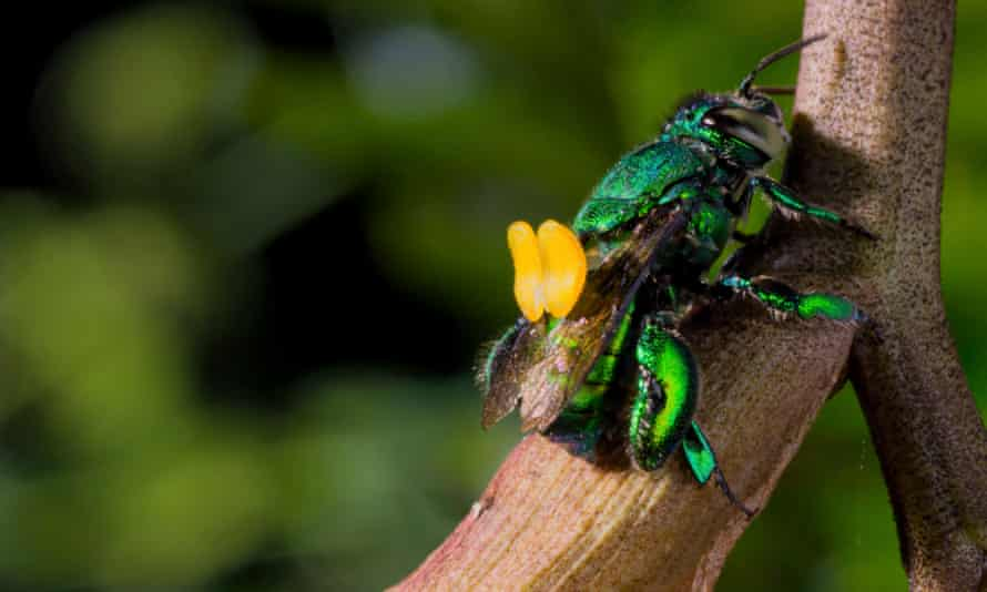Just as God, or a million years of evolutionary adjustments, intended ... an orchid bee.