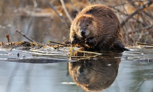 Reintroducing beavers in Scotland has been popular with the public.