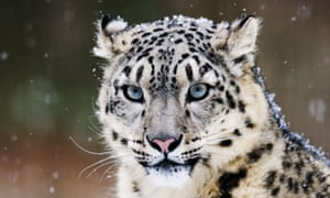 As few as 4,000 snow leopards are thought to remain in the mountains of central Asia.