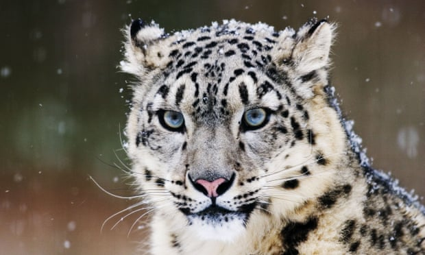 POLL: Should snow leopards be protected by stronger law enforcement?