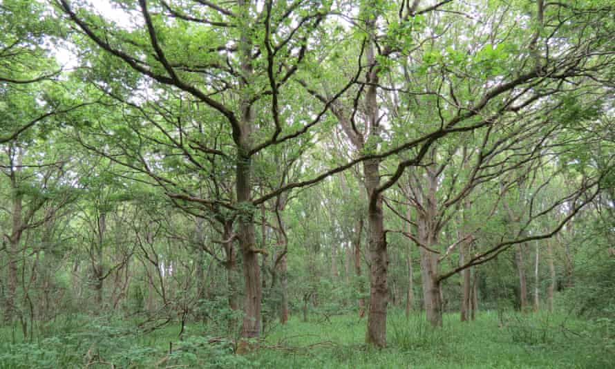 'The old wilderness' in Monks Wood, where jays were the likeliest source of the oak trees.