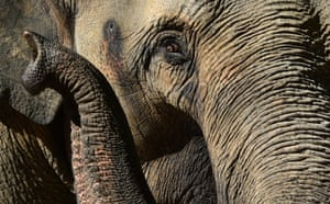 Pregnant elephant Num-oi is seen at Melbourne zoo