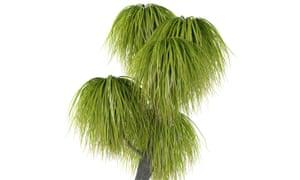 Ponytail palm.