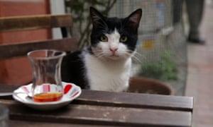 Kedi Gamsiz