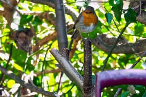 Robin perched in a tree
