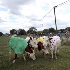Cows wearing green, white, yellow and polka dot jerseys.