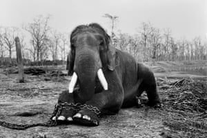 This bull elephant will end his life in chains in Nepal's Chitwan national park, a consequence of having killed five mahouts during his lifetime