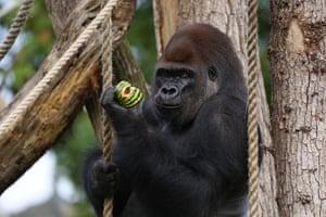 London, England: Kumbuka, the silverback gorilla