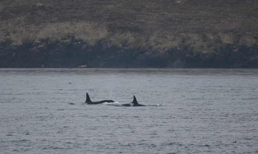 Two orcs pictured off Orkney