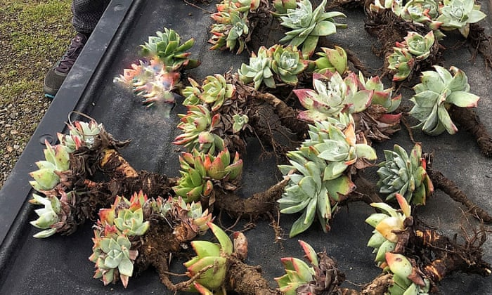 Stolen succulents: California hipster plants at center of