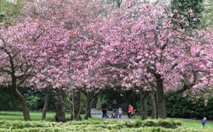 People walk under cherry blossom in full bloom in Saltwell Park, Gateshead