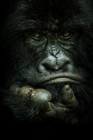 A silverback mountain gorilla in Virunga national park, Democratic Republic of the Congo