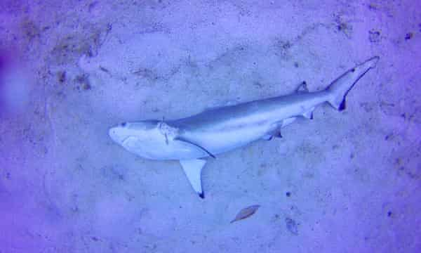 A photo taken in February of a reef shark missing its top fin.