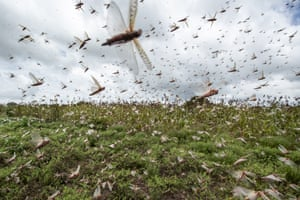 The locust invasion is the biggest in Ethiopia and Somalia in 25 years, and the biggest in Kenya in 70 years, according to the FAO